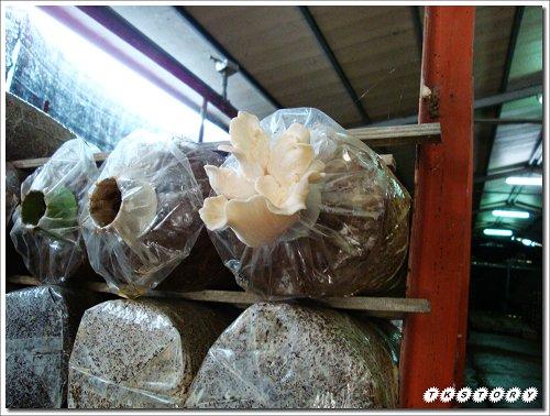 20090825-豐年菇類生態農場~26.jpg