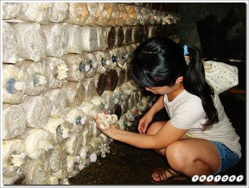 20090825-豐年菇類生態農場~40.jpg
