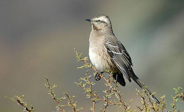 4275Chilean_Mockingbird
