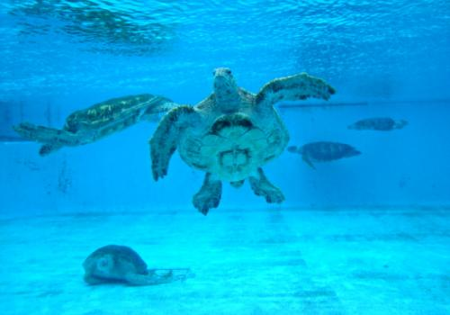 The-Okinawa-Churaumi-Aquarium-Japan_Sea-Turtles_538