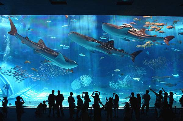 The-Okinawa-Churaumi-Aquarium-Japan_Whale-Sharks_535