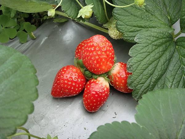 嬌豔的草莓