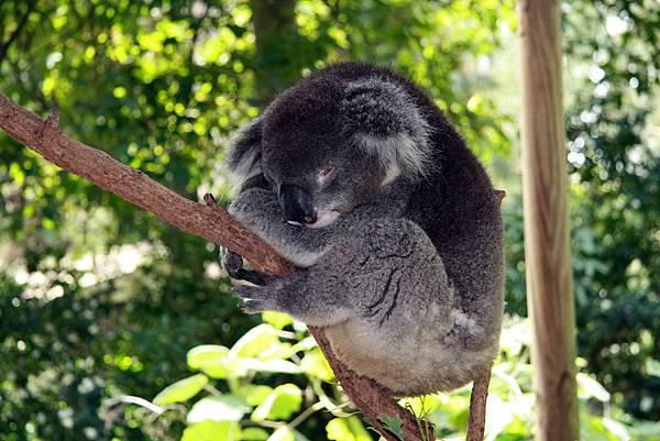 Sydney Koala Park33.jpg