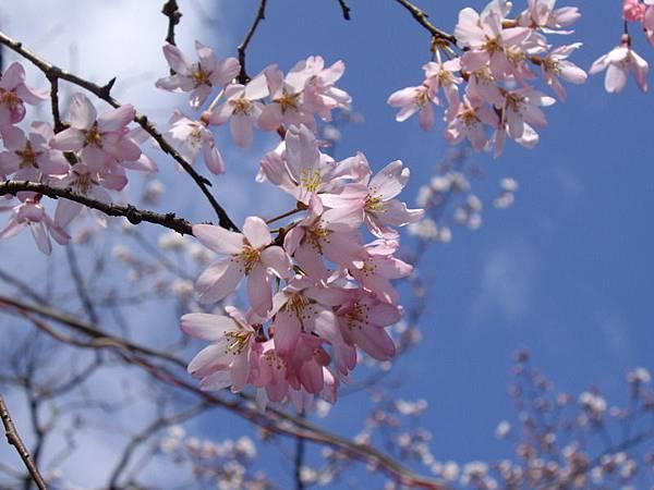 日本五月山櫻花.JPG