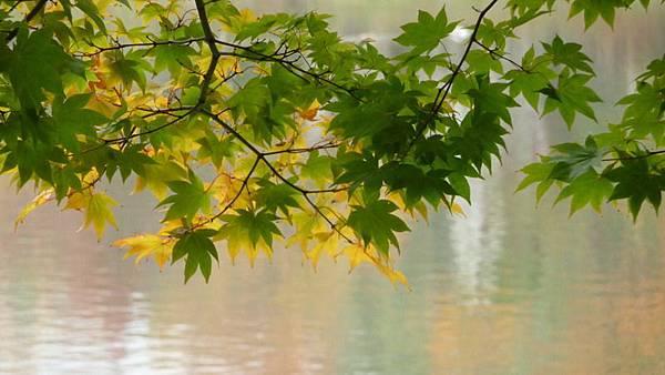 中之島公園的楓葉 .JPG