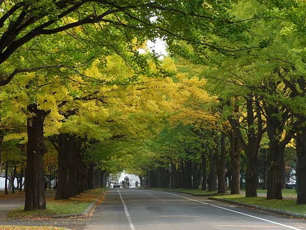 北海道大學銀杏道.JPG