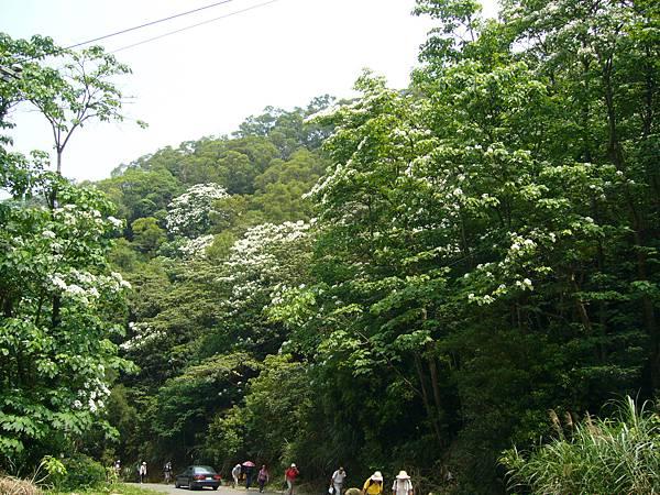 20090501苗栗銅鑼雙峰山賞桐花0009.JPG