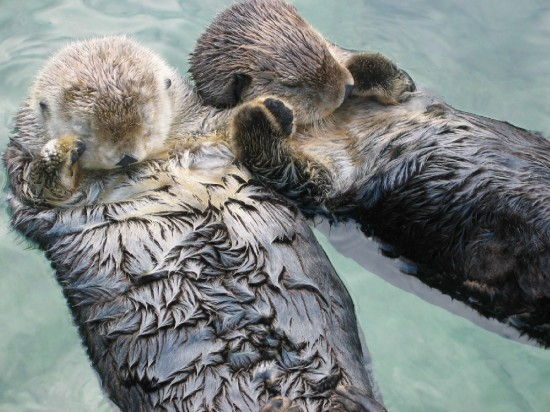 sea_otters_holding_hands1-550x412