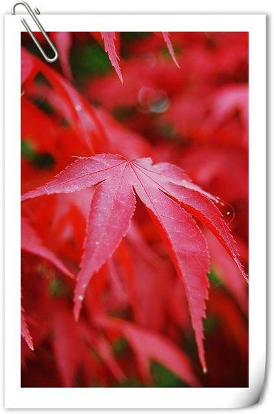 偶有楓葉紅