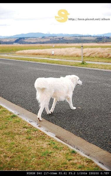 大白狗也追逐我