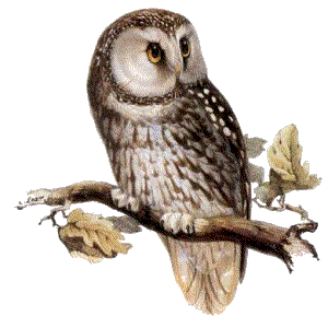 12774059611859866630owl.png