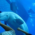 小白鯨超可愛的拉