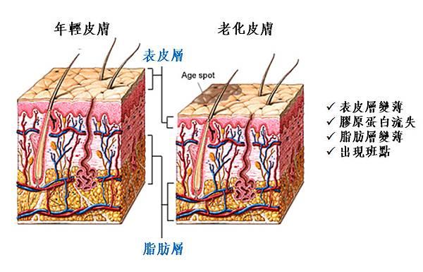年輕的皮膚與老化的皮膚