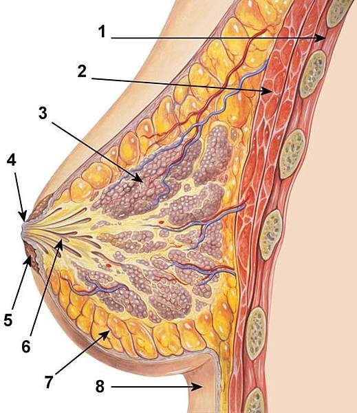 breast anatomy.jpg