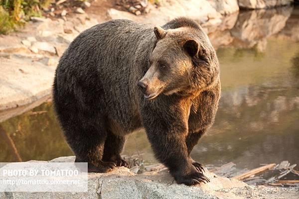 Grouse Mountain Bear.jpg