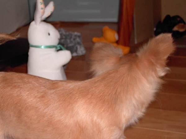 圍繞兔子,蓄勢待發要撲上去