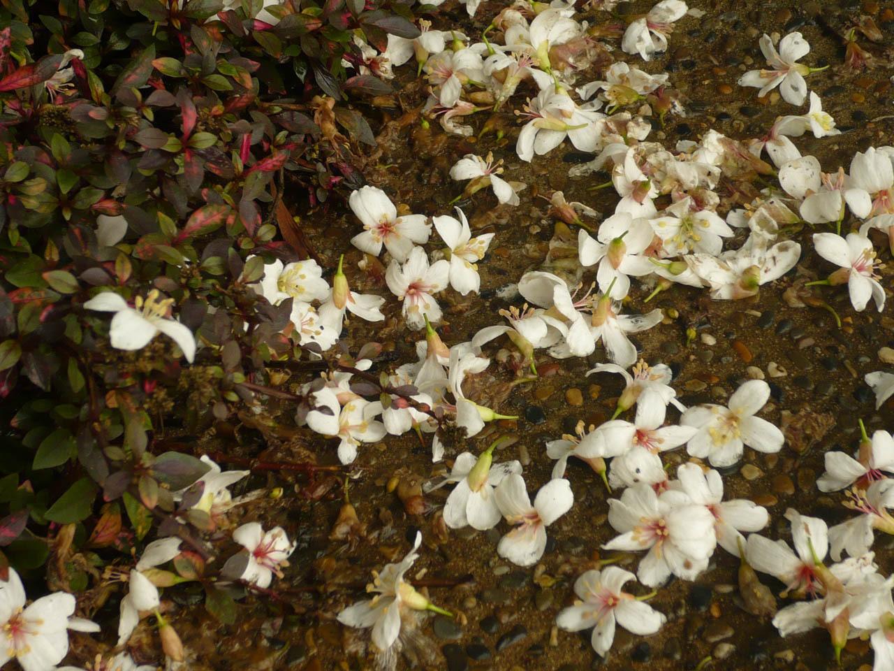 p032 油桐花