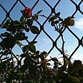 玫瑰 20110825