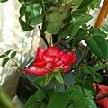 玫瑰0241_110829