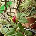玫瑰0225_110827