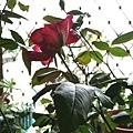 玫瑰111005