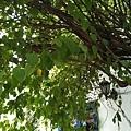 20111016中西美食門前的樹