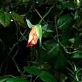 玫瑰20111229