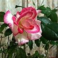 玫瑰20120104