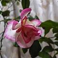 玫瑰20120103