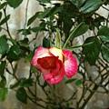 rose 2011.11.15