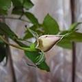 rose(II) 20120103