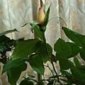 rose(II) 20120104