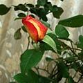 rose(II) 20120110