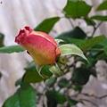 rose(II) 2012.01.10