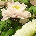 粉紅和白牡丹