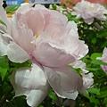 粉紅白牡丹