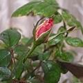 Rose Senior 20120509
