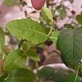 桔梗花苞 20120601