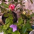 Roses 20120608