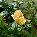 rose_0784h