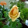rose_0788h