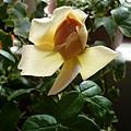 rose_0790h