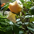rose_0795h