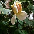 rose_0798h