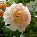 rose_0813