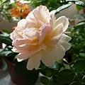 rose_0816