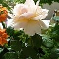 rose_0818