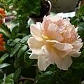 rose_0823