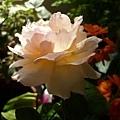rose_0831