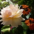 rose_0830
